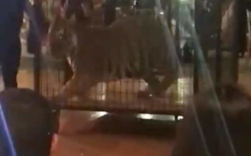 Caged tiger entertainment at Florida high school prom night prompts outrage