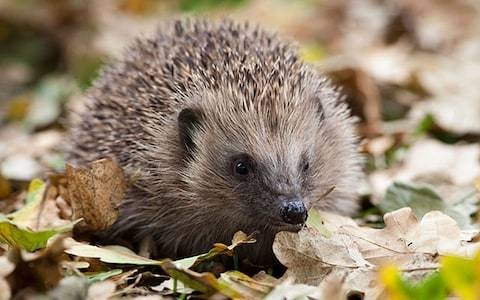 Hedgehogs vanish from British gardens