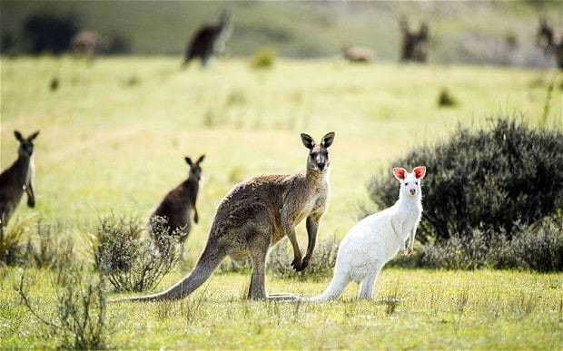 Rare albino kangaroo sighted in Australia