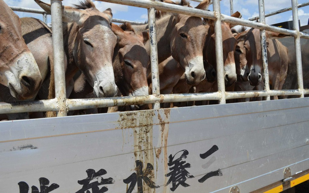 Kenya bans donkey exports to China amid rise in thefts for skin