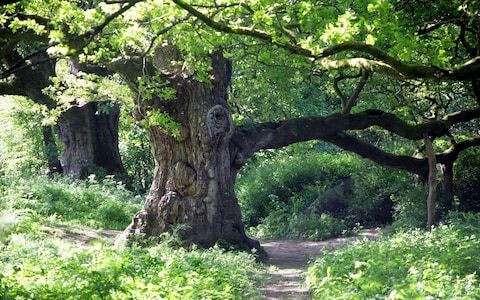 Last surviving oak tree from wood that inspired Shakespeare's Macbeth at risk of collapse