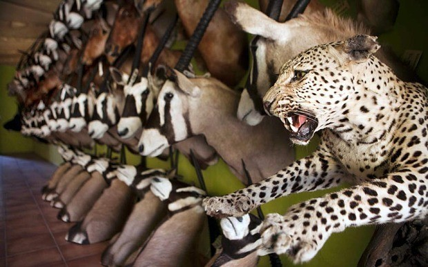 A hippo's head, leopard skulls and elephant ears: the hunting trophies imported to the UK
