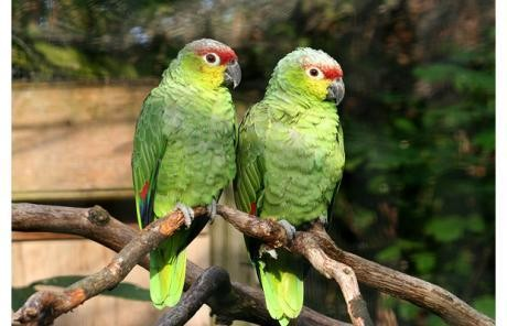 Parrots teach wild birds how to talk
