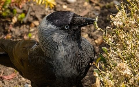 Britain's formal gardens saved from invasive moth after jackdaws develop taste for caterpillars