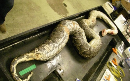 Hungry python gorged itself on three deer