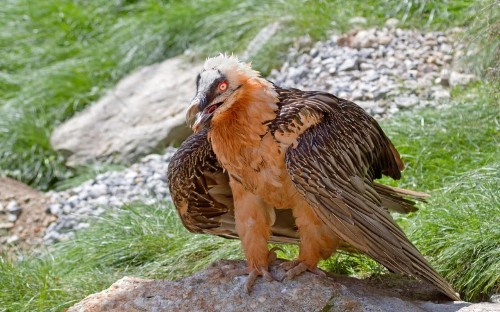Bearded vulture, only bird that lives on marrow from dead animals, spotted in UK for first time