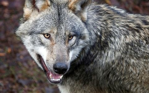Germany relaxes laws on wolf culling amid attacks on livestock