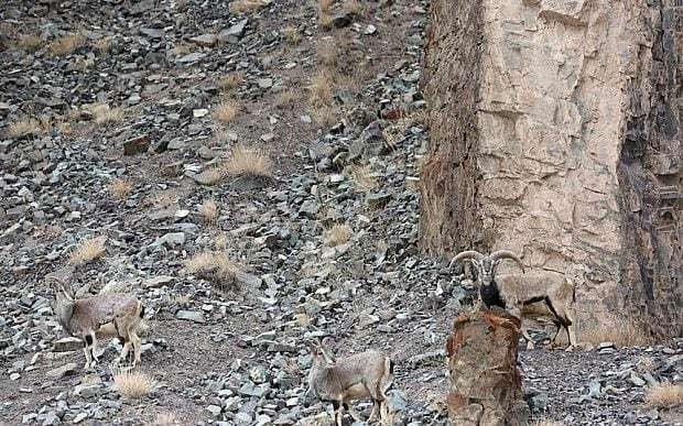 Can you spot the snow leopard caught by an Australian photographer?