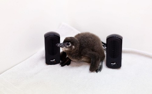 Penguins have adapted same speech patterns as humans, study finds