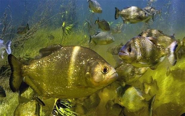 Sixty hurt in Argentina piranha attack