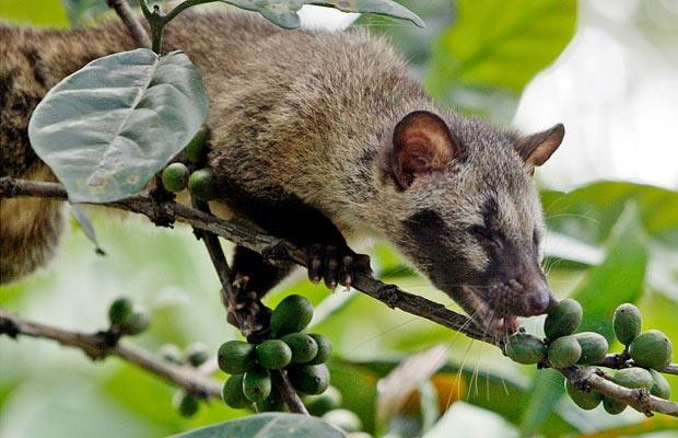 Test to prove the world's most expensive coffee really has come from civet poo