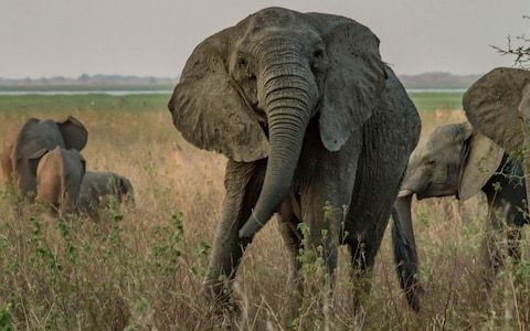 Elephants are evolving to lose tusks following decades of ivory poaching