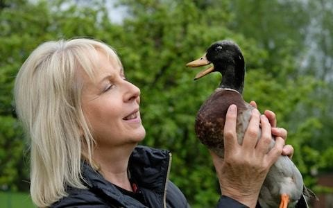 Ernie the 21-year-old duck prepares to enter the record books