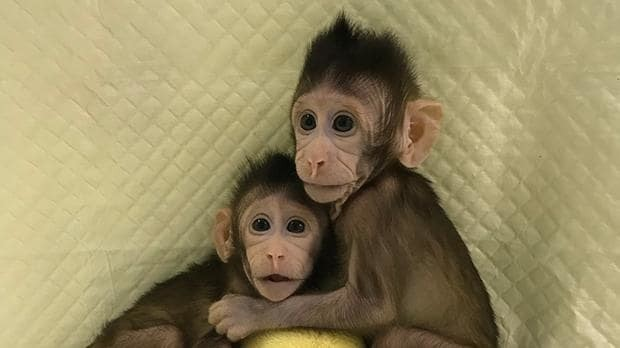 First monkeys cloned in historic breakthrough - could humans be next?