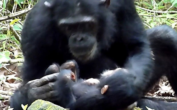 Wild chimpanzee observed caring for disabled infant in 'first case of its kind'