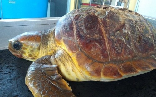 Shocking range of plastic found in loggerhead turtle that died on an Italian beach