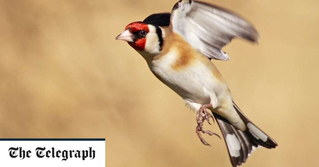Goldfinches are making a comeback to British gardens, here's how to attract them