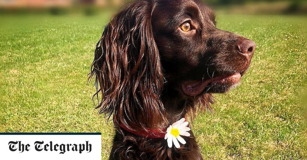 Meet Jasper, the rescue dog being trained by scientists to sniff out Covid-19