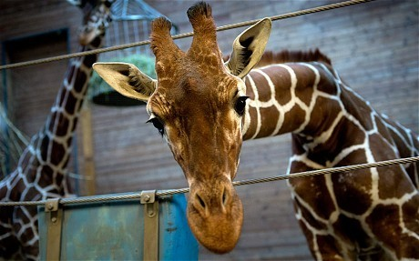 Danish zoo shoots giraffe and feeds carcass to carnivores