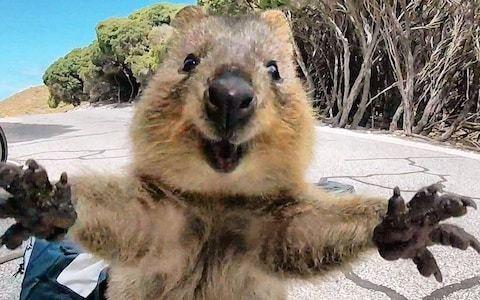 'Cutest quokka ever': Australian marsupial looks joyful as it jumps towards man