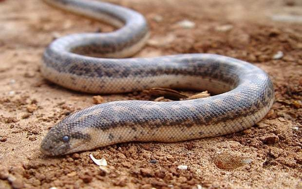 Scientists in Italy rediscover snake that was used by ancient Greeks as a weapon of war