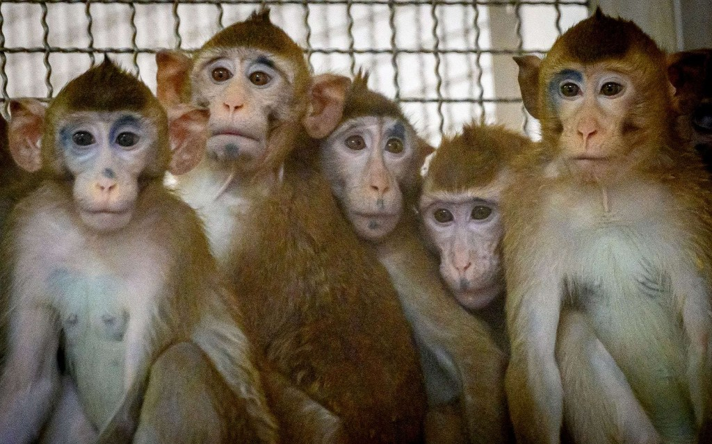 Monkeys steal samples of Covid-19 from Indian lab technician