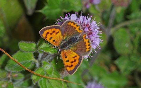 Give dock leaves and thistles protected status to save Britain's rare butterflies, campaigners urge