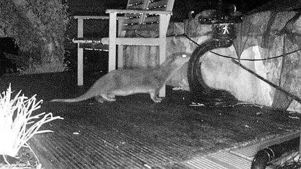 Secret camera solves mystery of man's murdered koi carp... a hungry otter