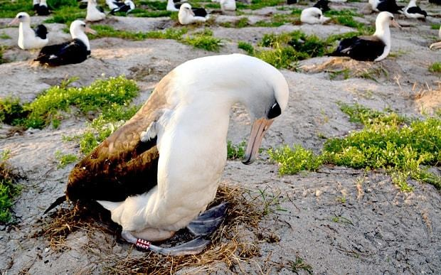 World's oldest wild bird returns to shore to lay egg at age of 64