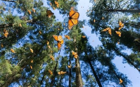 Mexico butterfly man feared murdered by illegal loggers