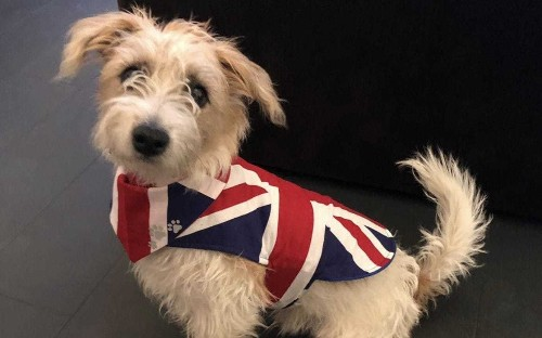Boris bounce for Jack Russels as Kennel Club says numbers have risen since Dilyn's arrival to Downing Street