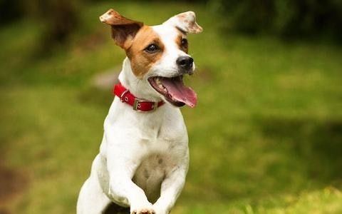 Pet subjects: 'Will my elderly Jack Russell learn to love another dog?'