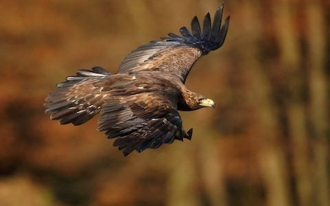 Golden eagles could return to Wales for first time since being hunted to extinction