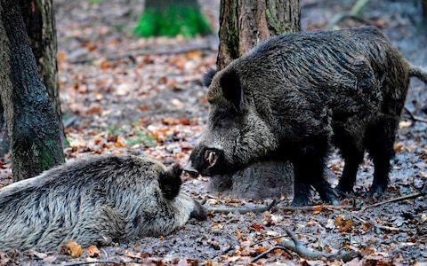 Italian motorists used frozen wild boar to fake road crash