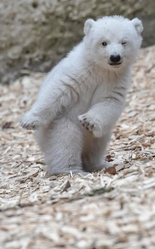 Polar bear cub does 'dab dance' taking adorable first steps at zoo