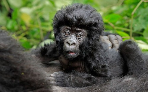 Baby gorilla shows off his bouffant hair-do in Virunga National Park, in pictures - Telegraph