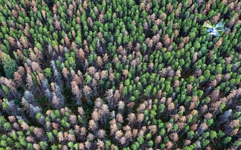 How a pine beetle is destroying the forests of the Canadian Rockies