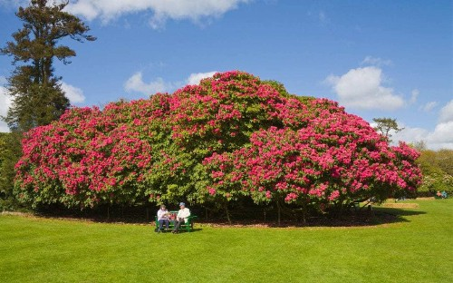 Genetic cloning sees return of historic rhododendrons