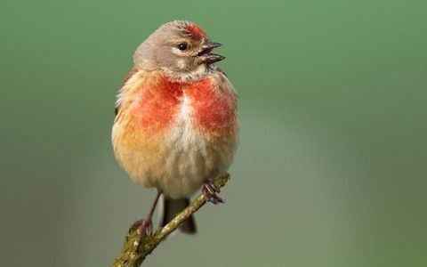 Britain's rarest birds are being put at risk by Natural England decision to revoke shooting licences, farmers warn
