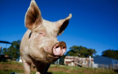 Pig hearts 'could be used in human transplants within three years' after gene breakthrough