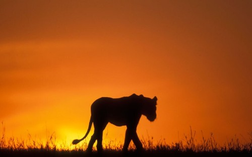 Animal silhouettes from around the world, in pictures - Telegraph