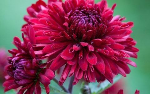 How to grow chrysanthemums, the winter sunshine flower