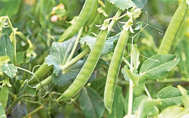 Time to plant peas: gardening tasks for the bank holiday weekend