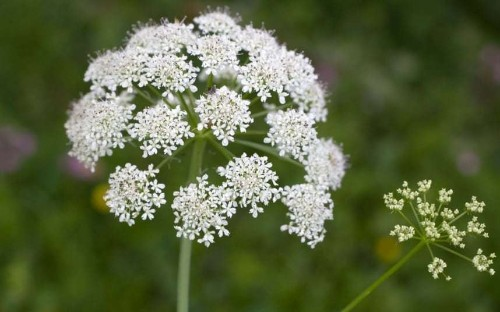 Poisonous plants to look out for in your garden - Telegraph