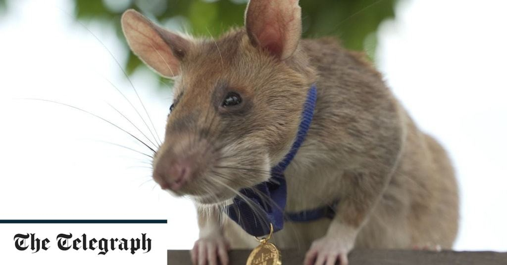 Bomb-sniffing 'hero' rats could detect Covid-19, researchers suggest
