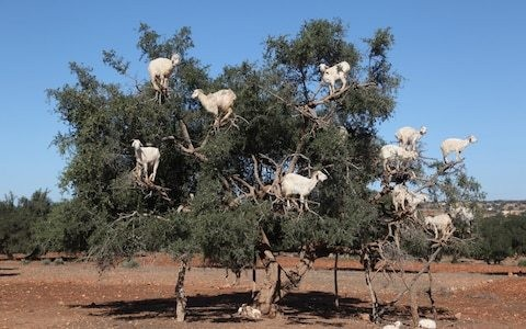 Too goat to be true: Morocco tourist site where goats climb tree is 'exploitative scam'