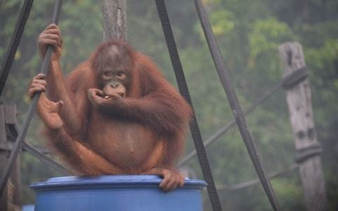 Fears grow for Orangutans struggling under toxic Indonesian haze