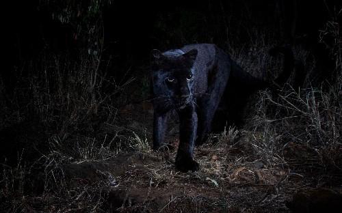 British wildlife photographer captures African black leopard in historic first