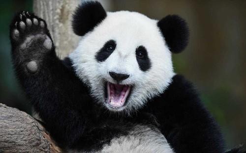 Giant Panda no longer endangered species, say conservationists