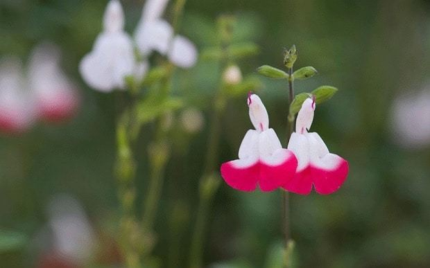 Ten unusual and fragrant herbs to grow in your garden